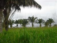 Linda Fazenda 700 ht em Castnhal / inhangapi sobre o Rio inhangapi