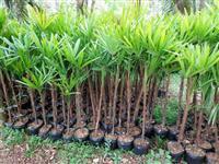 palmeiras raphys