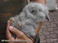 Mini Coelhos - Coelhos Peludos, orelhas Caidas, Pequeno porte, mansos e saudaveis