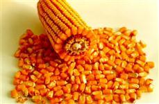 Milho seco a granel entregue em toda a região nordeste