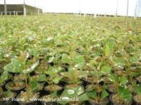 MUDAS CLONES  H13  -  Precocidade e Produtividade - Poupança Verde.