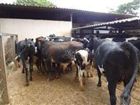 Vendo Vacas de Leite, Girolando, 5/8 etc