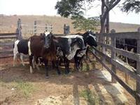 Matrizes Girolando - Muito leite a pasto