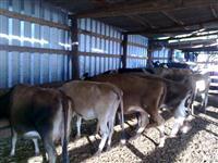 Vacas e novilhas jersey e jesolando