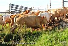 Vendo plantel Caracu - Touros, novilhas e vacas caracu PO