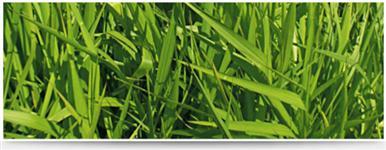 sementes de açai in natura para plantio