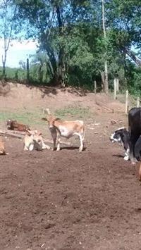 Mini vacas e mini touros