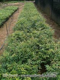 Mudas de nim indiano plantadas, incluindo as despesas de plantio e adubação.