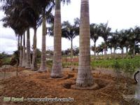 PALMEIRA IMPERIAL 10MT TOTAL COM 3,5 MT CAULE MARROM