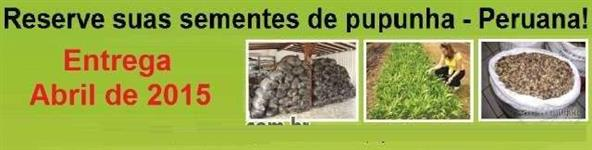 SEMENTES DE PUPUNHA - IMPORTADAS DO PERU - SEMENTES TRATADAS!!!