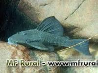 Alevinos de cascudos peixes de varias especies