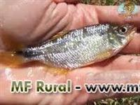 Alevinos de lambari somos piscicultura e produzimos