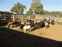 Rebanho ovinos ( 40 animais  sendo 35 femeas )