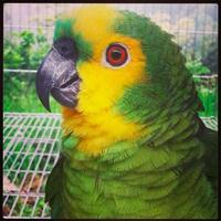 Papagaio verdadeiro - Amazona aestiva
