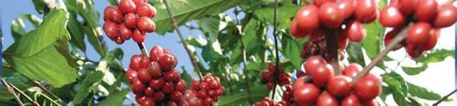 MASTER CAFÉ - Fertilizante Foliar completo para café, vendas direto da Fábrica