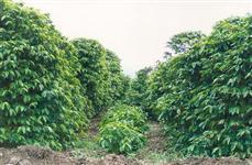 Fazenda de café e eucalipto em Novo Cruzeiro - MG com 1077 ha.
