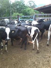 Novilhas Girolandas para leite