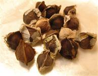 Sementes de moringa Oleifera