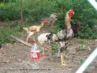 Ovos galados de galinha Índio Gigante em Tinguá