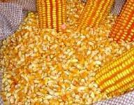 Milho seco ensacado em sacas de 30 e 60 kilos