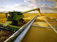 Milho seco ensacado ou a granel