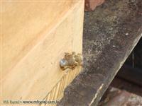 Vendo Enxames de abelhas jataí (Tetragonisca angustula angustula)