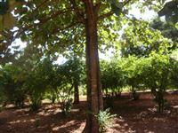 Reflorestamento de Teca