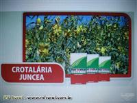 SEMENTE DE CROTALÁRIA JUNCEA CERTIFICADA