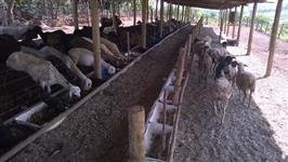 30 Ovelhas 1/2 sangue Dorper ou White Dorper