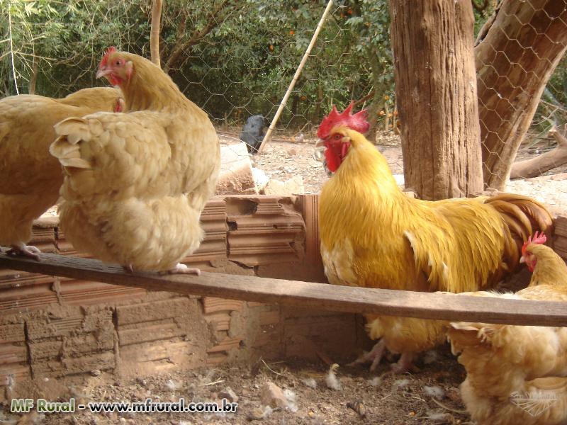 Ovos de galinhas de raça BRAHMAS