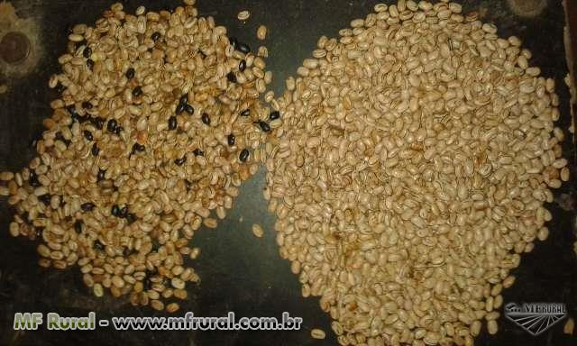 Selecionadora eletrônica de grãos de arroz, feijão, aveia e sementes em geral.