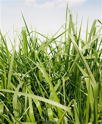 Sementes para Pastagem Diretamente do Produtor Rural à Venda para todo o Brasil