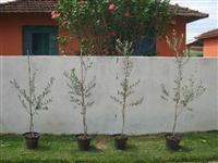 Plantas de Oliveiras Produtivas em Vaso - Ornamentação