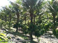 Vende se Fazenda de coco em Ilheus BA