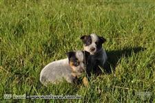 AUSTRALIAN CATTLE DOG/ BLUE HELLER