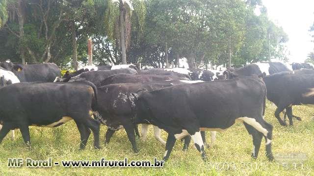 Vacas e Novilhas Leiteiras Girolandas