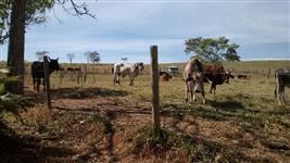 Vende -se Vacas e garrotes