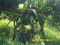 Mudas de pitayas