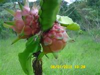 mudas de pitayas enraizadas