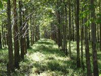 CHACARAS COM PLANTAÇÃO DE EUCALIPTO