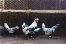 Ovos férteis  de Pavão Marreco e Galinhas