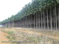 Mudas de Eucalipto Clonal Vendas e Plantio