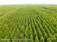 Plantio de Eucalipto Em Goiás e Região (Prestação de Serviço)