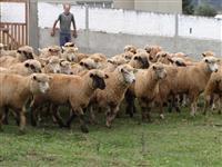 Como iniciar uma criação de ovinos