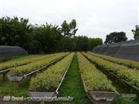Viveiro em plena produção de clones de eucalipto e sementes