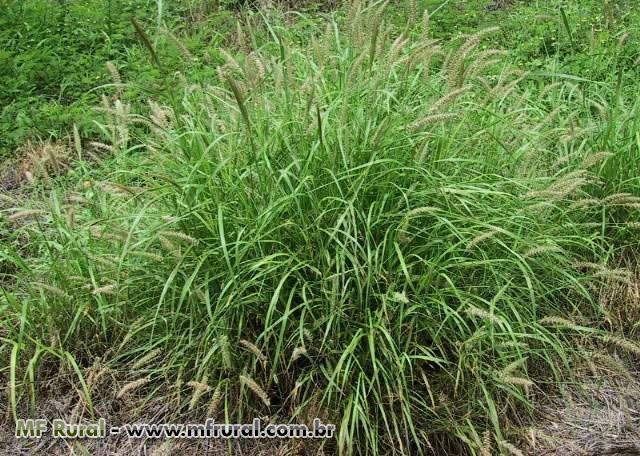 SEMENTES DE CAPIM BUFFEL GRASS