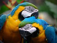 Hormônio e alimentação para pássaros