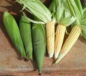 Roça de Milho Verde