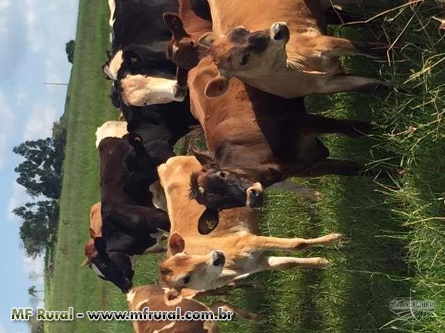 Novilhas e vacas leiteiras - QUALIDADE AO MENOR PRE�O DO MERCADO DE LEITE