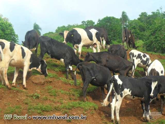 Novilhas e vacas leiteiras - QUALIDADE AO MENOR PREÇO DO MERCADO DE LEITE